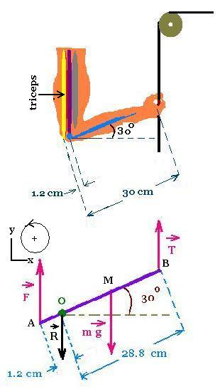 Statics 1 the triceps muscle ccuart Choice Image
